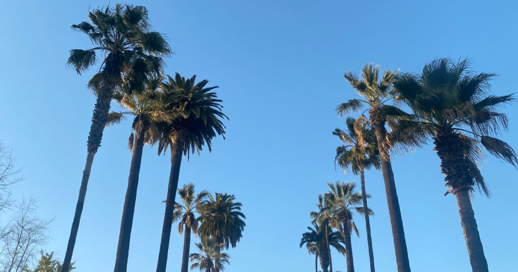 palm trees in beverly hills on a sunny clear blue sky day